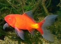 The comet goldfish variety is thought to have originated from the United States around the 1800s.