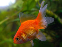 The origin of the fantail goldfish dates back to over a thousand years. It is one of the oldest goldfish varieties known , and it is still a very popular goldfish.