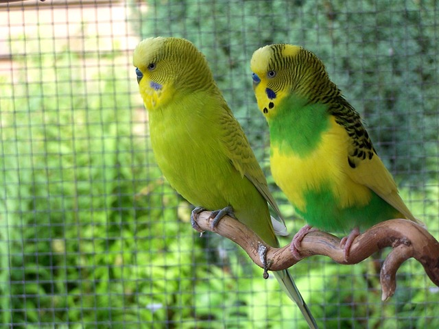 Top 10 Pet Budgie-Parakeet Questions Answered | Petbeings com